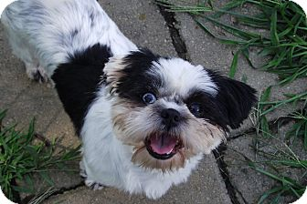 Shih Tzu Mix Dog for adoption in Lake Odessa, Michigan - Fancie