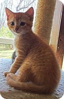 Domestic Shorthair Kitten for adoption in N. Billerica, Massachusetts - Murray
