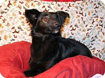 Sheltie, Shetland Sheepdog/Collie Mix Dog for adoption in Hainesville, Illinois - Lana