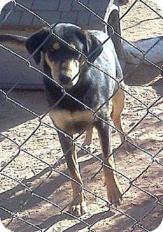 German Shepherd Dog/Bloodhound Mix Dog for adoption in Tonopah, Arizona - Susie