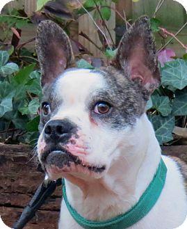 Boston Terrier/French Bulldog Mix Dog for adoption in North Augusta, South Carolina - Kingsley