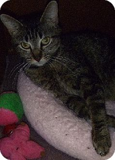 Domestic Shorthair Cat for adoption in Hamburg, New York - Karen Carpenter