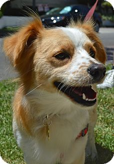 Cavalier King Charles Spaniel/Corgi Mix Dog for adoption in Los Angeles, California - Pickles