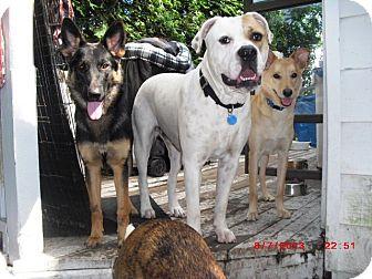 American Bulldog Mix Dog for adoption in Northumberland, Ontario - Niko