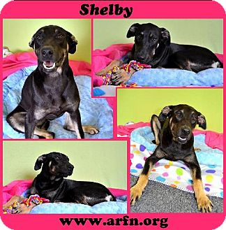 Belgian Malinois/Doberman Pinscher Mix Dog for adoption in Brooksville, Florida - Shelby