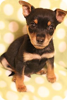 Chihuahua/Dachshund Mix Puppy for adoption in Greenville, Virginia - Ricky