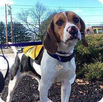 Beagle Mix Dog for adoption in Freeport, Maine - Jenny