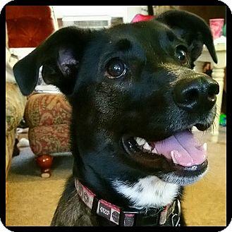 Australian Kelpie Dog for adoption in Colorado Springs, Colorado - Sweetie