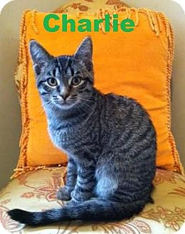 Domestic Shorthair Kitten for adoption in Huntsville, Ontario - Charlie - Playful Dude!