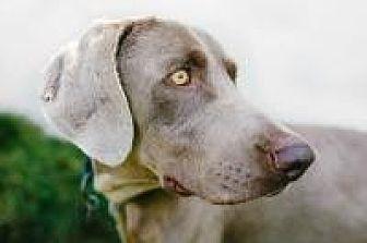 Weimaraner Dog for adoption in Sun Valley, California - Vince