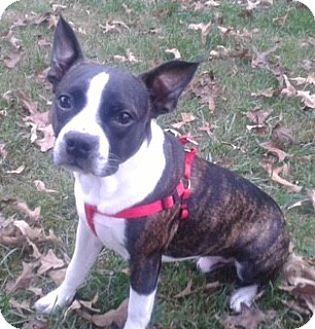 Boston Terrier Dog for adoption in Jackson, Tennessee - Sammy