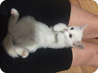 Domestic Shorthair Kitten for adoption in Gorham, Maine - Abigail