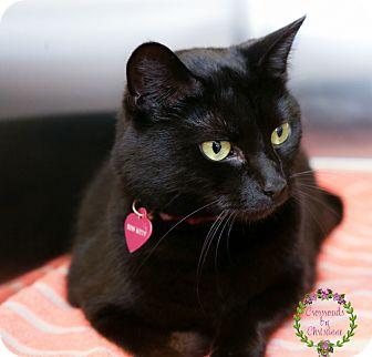 Domestic Shorthair Cat for adoption in Sierra Vista, Arizona - Haraku