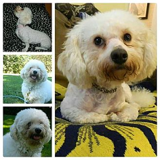 Poodle (Miniature)/Maltese Mix Dog for adoption in ROME, New York - Luna
