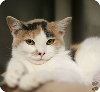 Calico Cat for adoption in Stillwater, Oklahoma - Cadence