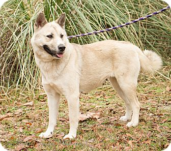 Akita/Husky Mix Dog for adoption in Daleville, Alabama - Sugar