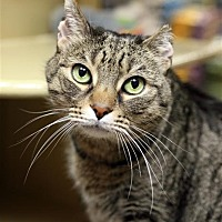 Adopt A Pet :: Maya II - Fairfax Station, VA