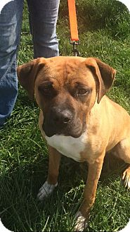 Boxer/Mixed Breed (Medium) Mix Dog for adoption in Jerseyville, Illinois - AC - Sugar Ray