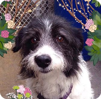 Terrier (Unknown Type, Small) Mix Dog for adoption in Irvine, California - PHOEBE