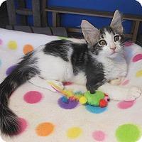 Maine Coon Kitten for adoption in Glendale, Arizona - Joey