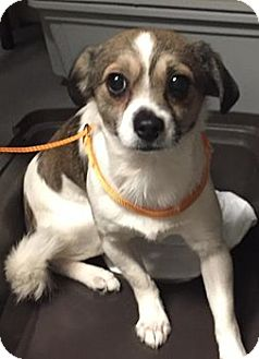 Chihuahua Mix Dog for adoption in Orlando, Florida - Tiny