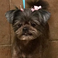 Adopt A Pet :: Phoebe - Oswego, IL