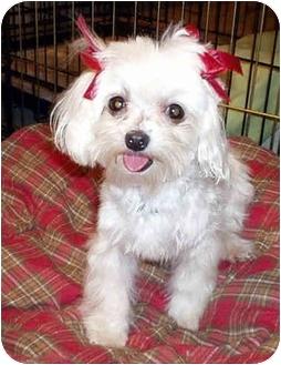 Maltese Dog for adoption in Los Angeles, California - HILLARY
