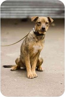 German Shepherd Dog/Australian Cattle Dog Mix Puppy for adoption in Portland, Oregon - Kelsie