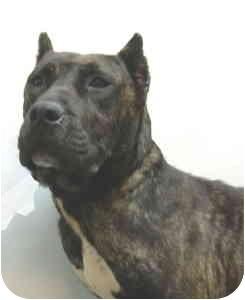 Mastiff Mix Dog for adoption in Port Washington, New York - April
