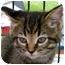 Photo 2 - Domestic Shorthair Kitten for adoption in Troy, Michigan - Sonata