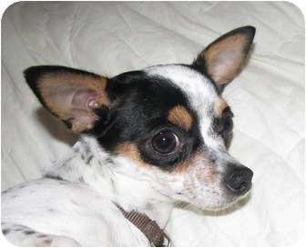 Chihuahua Dog for adoption in Conesus, New York - A.J.