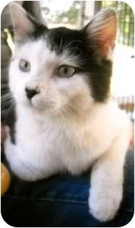 Domestic Mediumhair Cat for adoption in Fairmount, Georgia - Mogli