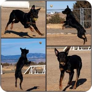 Rottweiler Mix Dog for adoption in Gardnerville, Nevada - Rocko