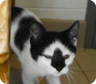 Domestic Shorthair Kitten for adoption in Jackson, Michigan - Bigfoot