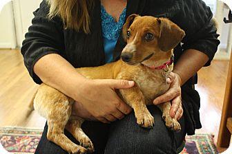 Dachshund/Terrier (Unknown Type, Small) Mix Dog for adoption in Huntsville, Alabama - Nala