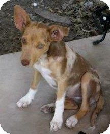 Catahoula Leopard Dog/Chihuahua Mix Puppy for adoption in San Angelo, Texas - Spooky