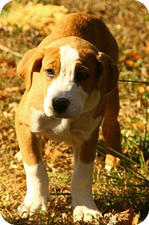 Boxer/American Bulldog Mix Puppy for adoption in Washington, D.C. - Bella