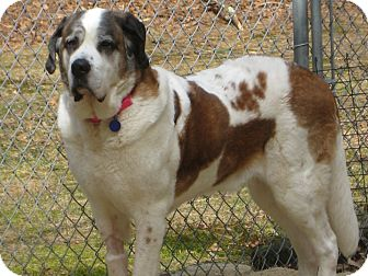 St. Bernard Dog for adoption in Sudbury, Massachusetts - SAVA - ADOPTION PENDING