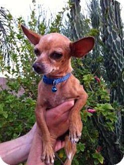 Chihuahua Dog for adoption in Phoenix, Arizona - Papi