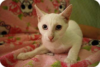 Domestic Shorthair Kitten for adoption in Fountain Hills, Arizona - GRACIE
