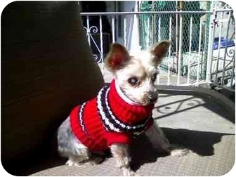 Yorkie, Yorkshire Terrier Dog for adoption in Long Beach, New York - Corkie the Yorkie