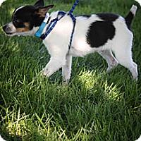 Adopt A Pet :: Nacho - Broomfield, CO