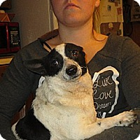 Corgi/Rat Terrier Mix Dog for adoption in Greenville, Rhode Island - Oliver
