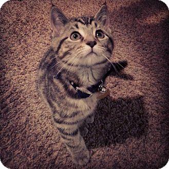 Domestic Shorthair Kitten for adoption in Horsham, Pennsylvania - Gatsby