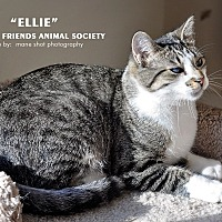Domestic Shorthair Cat for adoption in Ortonville, Michigan - Miss Ellie