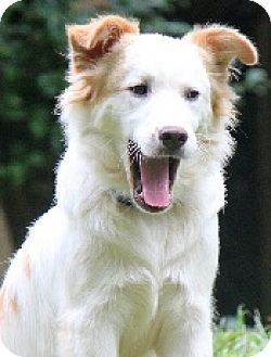 Border Collie/Sheltie, Shetland Sheepdog Mix Puppy for adoption in Oliver Springs, Tennessee - Noah