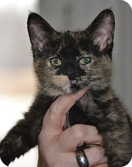 Domestic Mediumhair Kitten for adoption in Michigan City, Indiana - Hoda