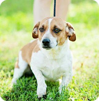 Beagle Mix Dog for adoption in Windham, New Hampshire - Skippy