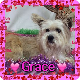 Norwich Terrier/Yorkie, Yorkshire Terrier Mix Dog for adoption in Pahrump, Nevada - Grace