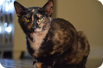 Domestic Shorthair Cat for adoption in Nashville, Tennessee - Andromeda